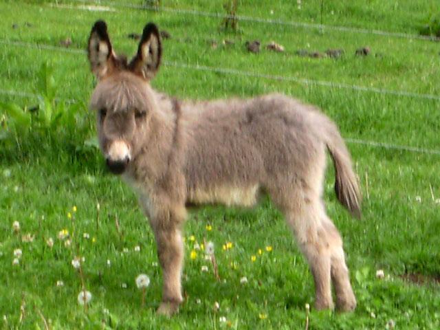 australian shepherd & siberian husky photo ideas - Rassevorstellung